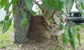 Tree termite nest 1